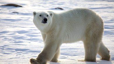 Photo of دراسة: «طاقة» الدببة القطبية تهدد بقاءها