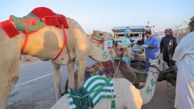 Photo of العيادات البيطرية بالجامعة تشرف على سباقات الهجن بالجنادرية وتعالج 89 حالة
