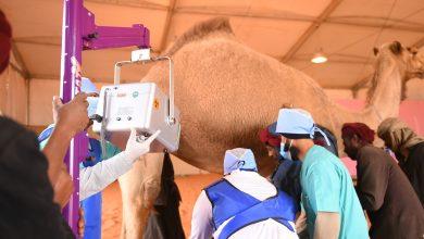 Photo of فريق بيطري متخصص من الجامعة يشرف على اللجنة الطبية في مهرجان الملك عبدالعزيز للإبل
